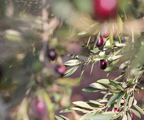 Maison Huile Olive
